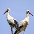 White Storks by Wim Lanclus