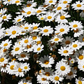 White Summer Daisies by Christine Till