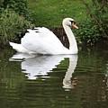 White Swan In Belgium Park by Carol Groenen