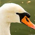 White Swan Profile by Jennifer Wick