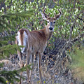 White-tail Buck by Cindy Murphy - NightVisions