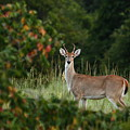 White-tail Buck Through The Trees by Sheila Brown