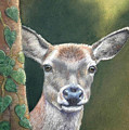 White Tail Doe At Ancon Hill by Ceci Watson