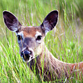 White Tail Doe by Sally Sperry