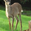 White-tail Fawn by Frank Townsley