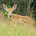 White-tail Fawn Id by Cindy Murphy - NightVisions