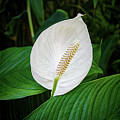 White Tail-flower by Kenneth Roberts
