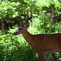 White Tailed Buck by Linda Kerkau