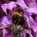 White-tailed Bumblebee On Southern Marsh Orchid by Bob Kemp