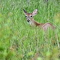 White-tailed Deer Bedded Down In Tall Grass by Jeramey Lende