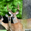 White-tailed Deer Family by Jeramey Lende