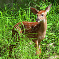 White-tailed Deer Fawn Dmam0038 by Gerry Gantt