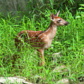 White-tailed Deer Fawn Dmam0040 by Gerry Gantt