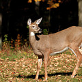 White Tailed Deer In Autumn by Christina Rollo