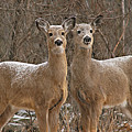 White-tailed Deer Pair Peering Out From Snowstorm by Max Allen