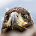 White-tailed Eagle #2 by Alfred Lucas
