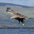 White-tailed Eagle Over Loch by Peter Walkden