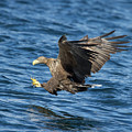 White-tailed Eagle Taking Fish by Peter Walkden