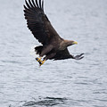 White-tailed Eagle With Catch by Peter Walkden