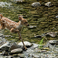 White-tailed Fawn At Vichy Springs Resort In Ukiah by David Oppenheimer