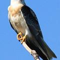 White-tailed Kite by Paul Marto