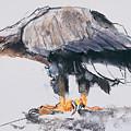 White Tailed Sea Eagle by Mark Adlington