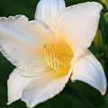 White Temptation Lily by Angela Murdock