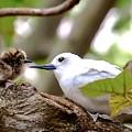 White Terns Koa And Parent...bird Love by Melody Bentz