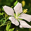 White Texas Star Hibiscus 003 by George Bostian