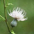 White Thistle Flower by Kenneth Albin
