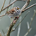 White Throated A Sparrow by Laura Mountainspring