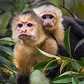 White-throated Capuchin Monkeys Cebus by Panoramic Images