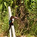 White-throated Kingfisher  02 by Arik Baltinester