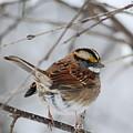White Throated Sparrow 2 by Michael Peychich