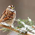 White Throated Sparrow by Alan Lenk