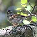 White Throated Sparrow by John Meader