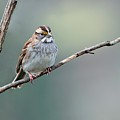White Throated Sparrow by Laura Mountainspring