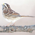 White-throated Sparrow Looking Skyward by A Gurmankin