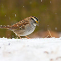 White-throated Sparrow by Melinda Fawver