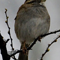 White Throated Sparrow by Michael Barry