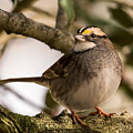 White Throated Sparrow On Branch New Jersey by Terry DeLuco