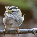 White Throated Sparrow Portrait by Jemmy Archer