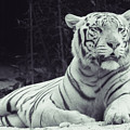 White Tiger 16 by Jijo George