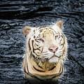 White Tiger 20 by Jijo George
