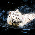 White Tiger 21 by Jijo George