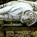 White Tiger by Frances Ann Hattier