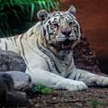 White Tiger Gladys Porter Zoo Texas by TN Fairey