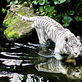 White Tiger by Miles Whittingham
