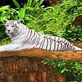 White Tiger by MotHaiBaPhoto Prints