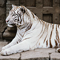 White Tiger by Pati Photography